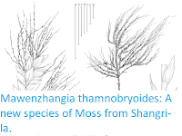 https://sciencythoughts.blogspot.com/2018/12/mawenzhangia-thamnobryoides-new-species.html