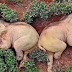 Elephants' gets drunk and fell asleep after eating 30kgs of corn wine