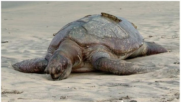 News, Kerala, Local-News, Sea, Dead Body, Postmortem, Giant sea turtle body is on Calicut beach