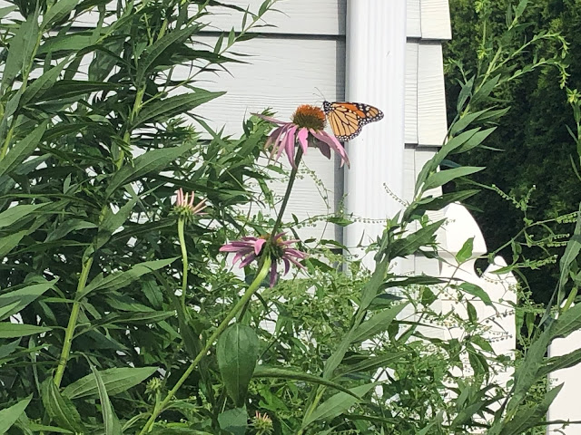 A monarch enjoying a coneflower in my native garden.