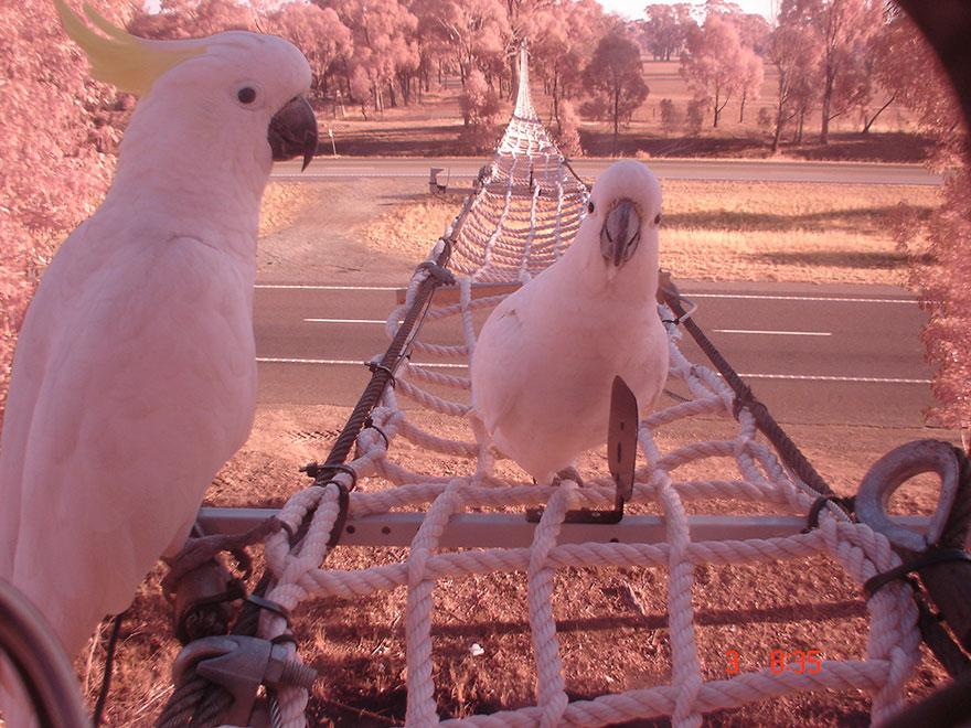 Веревочный мост для попугаев на автостраде Австралии