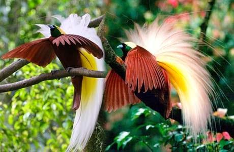 Melihat Burung Cendrawasih Di Desa Sawinggrai Papua Tempat Wisata