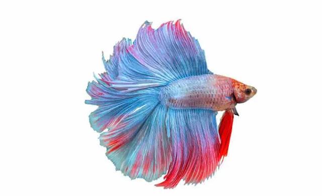 Ikan Cupang Doubletail - Hantu Laut