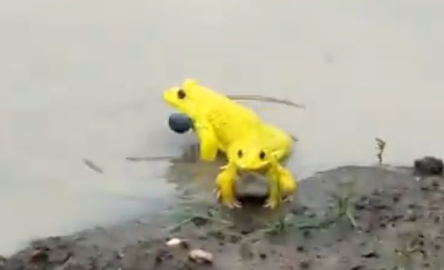मध्य प्रदेश के नरसिंहपुर जिले के एक तलाब में दिखे दुलर्भ प्रजाति के पीले मेंढक