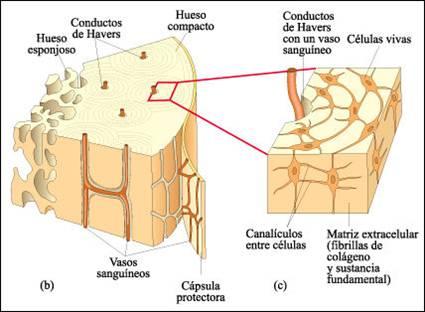Aula virtual anatomia basica: 3.07.1 Hueso Compacto (cortical)