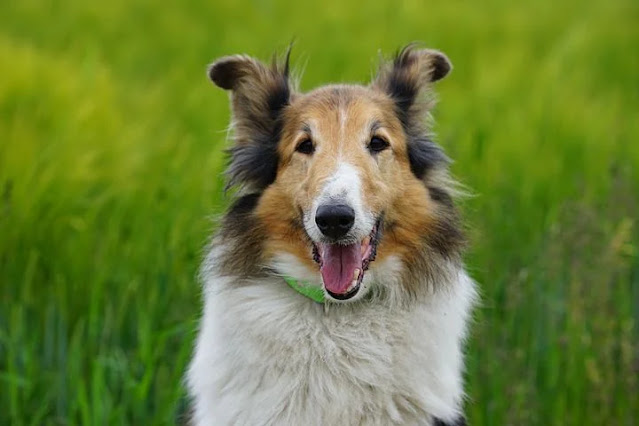 All About Dog and Scottish Derhound, Health description and personality