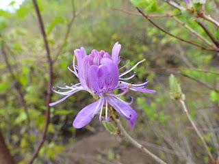 Rhododendron du Canada - Rhododendron canadense - Rhodora canadensis - Rhodora du Canada