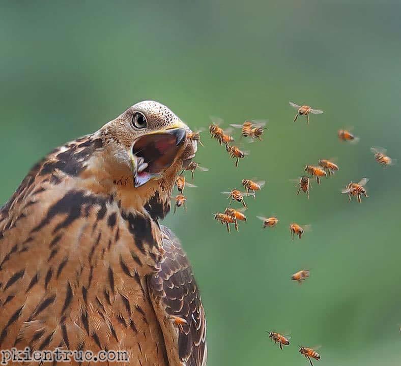Đàn ong và diều hâu ăn ong