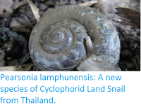 http://sciencythoughts.blogspot.co.uk/2015/08/pearsonia-lamphunensis-new-species-of.html
