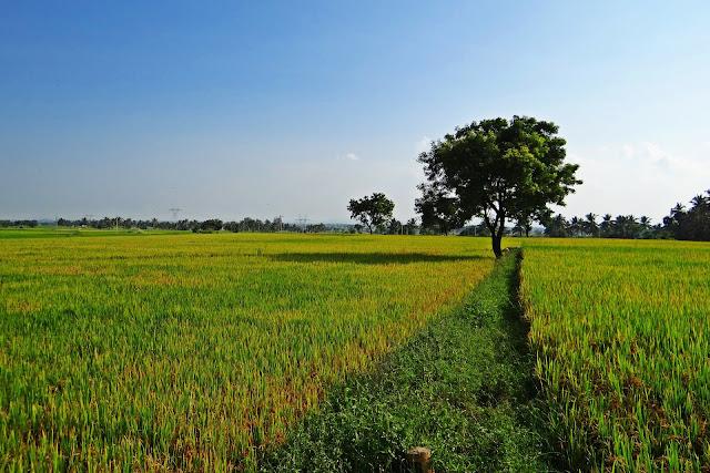 Aspek budidaya padi organik metode SRI