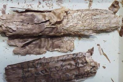 I rotoli di corteccia di betulla eccezionalmente fragili studiati dal dott. Mark Allon