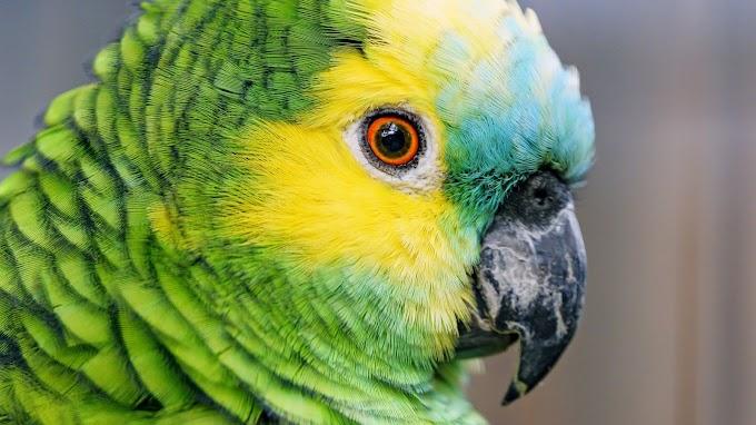 Papel de Parede Ave Papagaio-Verdadeiro