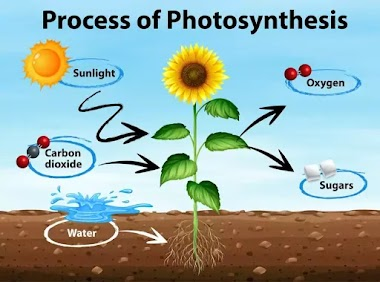 Which plant have chlorophyll but not green in color?