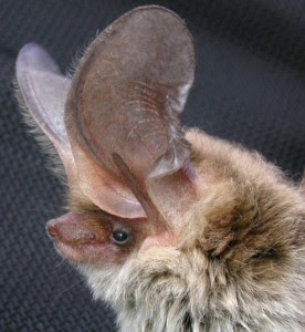 Small big eared brown Bat