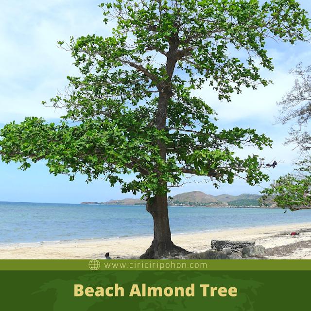 Ciri Ciri Pohon Ketapang Laut