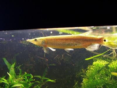 Ikan Hujeta Gar