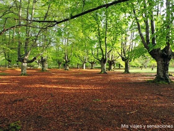 Hayedo en el centro de interpretación del Parque Natural de Gorbea, Alava