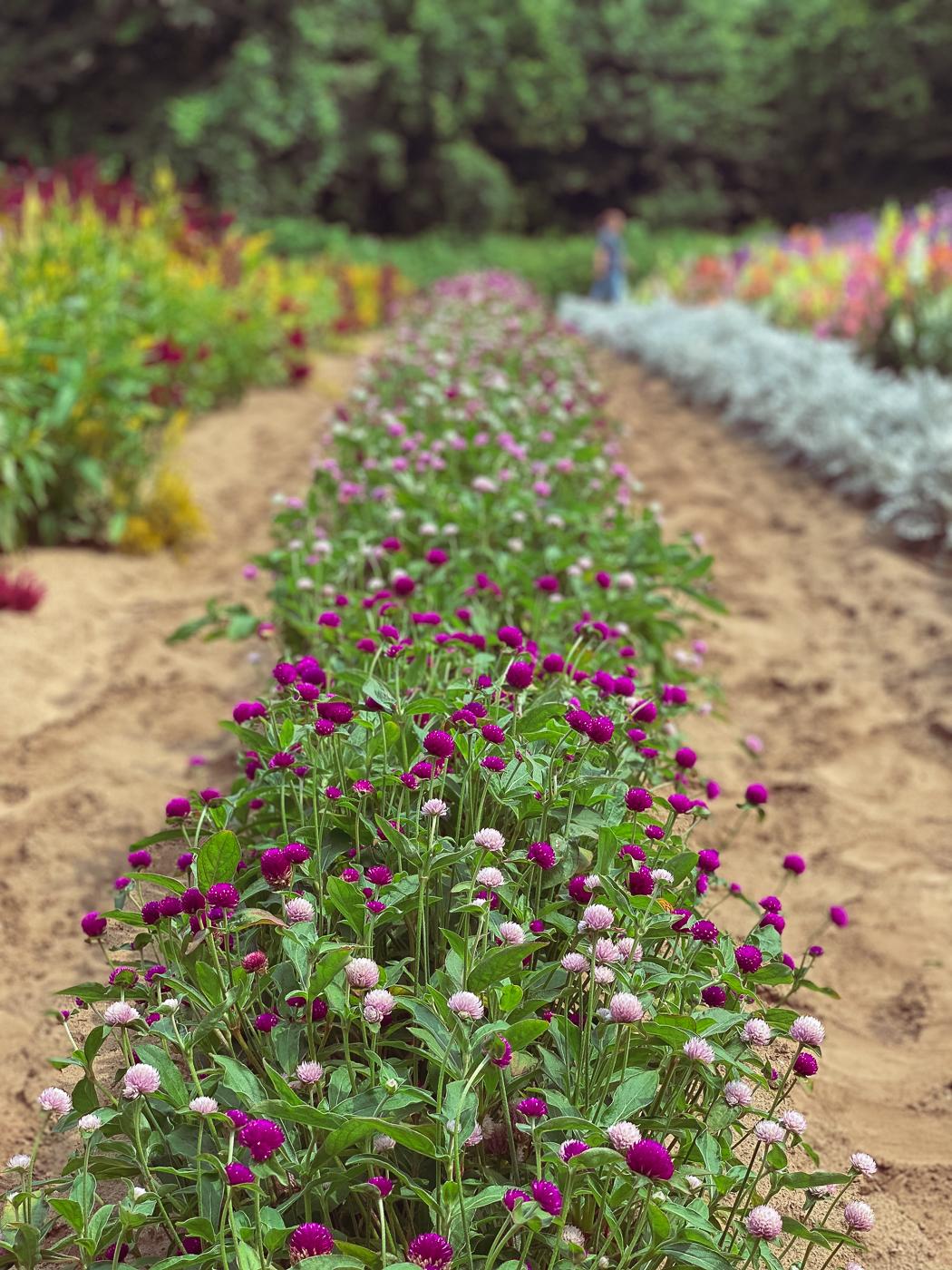 globe amaranth, summer garden flowers, blooming flowers, summer flowers that bloom