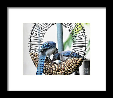 This is a screen shot of one of my framed images of Blue Jays which is available in different sizes via Fine Art America. https://fineartamerica.com/featured/blue-jays-wooing-1-patricia-youngquist.html?product=framed-print