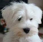 Mengenal tentang Anjing Affenpinscher dan ciri-cirinya