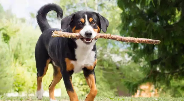 Appenzeller Sennenhunde Dog Breed