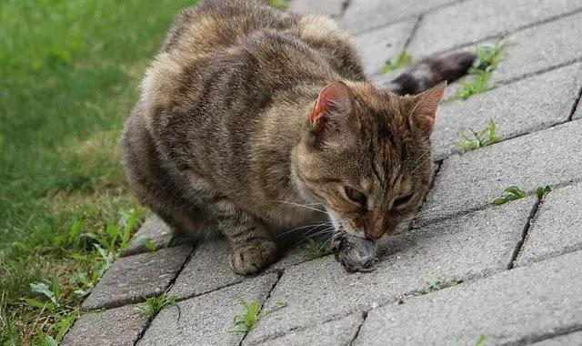Que mangent les chats Bengal