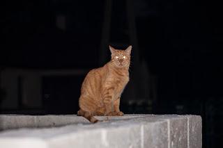 ¿Qué hacen los gatos por la noche al aire libre?