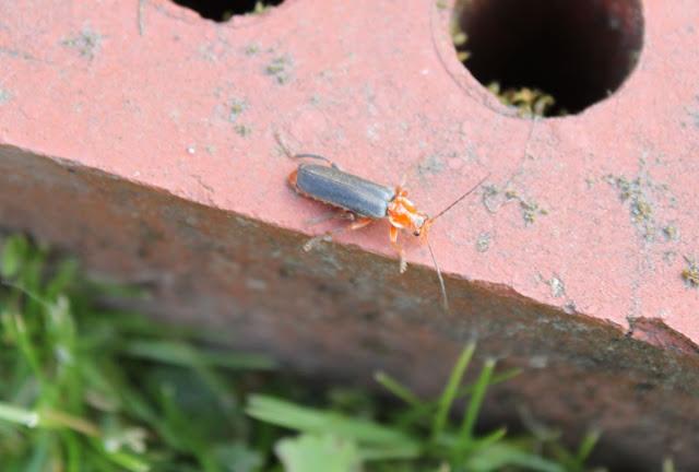 punamusta kovakuoriainen