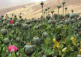 Opium poppies field in Afghanistan