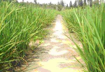 Tampilan gambar anakan maksikum, masa puncak pertumbuhan vegetatif