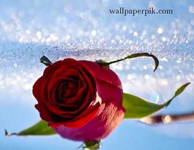 rose wallpaper lovely