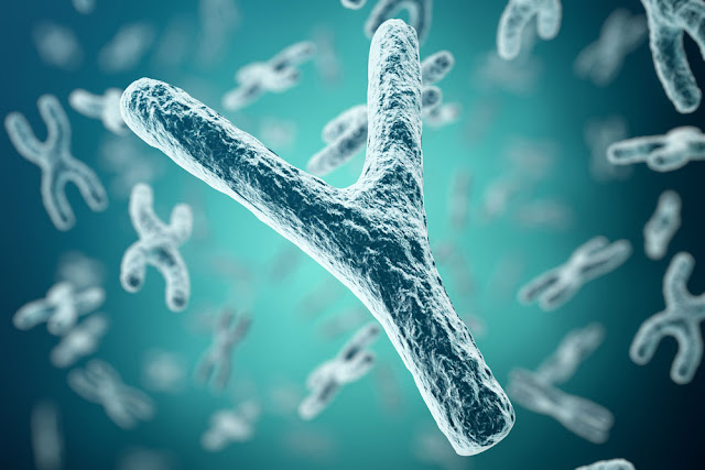 Why the 'wimpy' Y chromosome hasn't evolved out of existence
