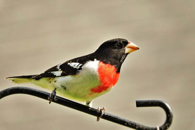 Photo of Rose-breasted Grosbeak on bird feeder pole