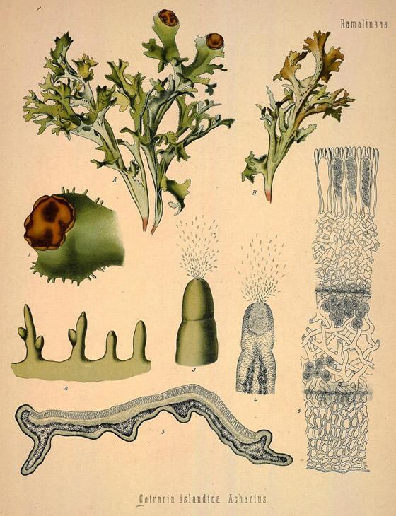 Iceland moss illustration