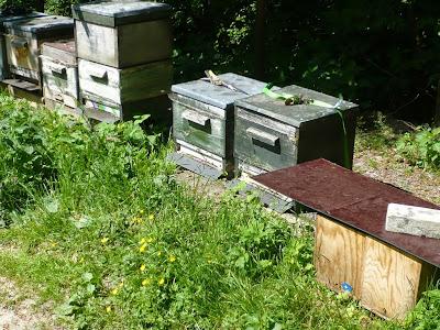 Dutzende Holzkisten stehen auf einer Wiese. Jede Kiste beherbergt ein Bienenvolk