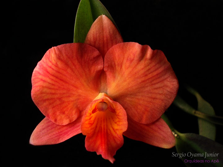 Mini-orquídea Sophrolaelia Coral Orb
