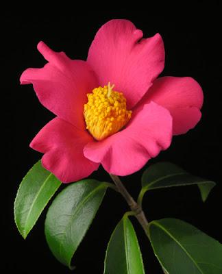 Hoa trà 2