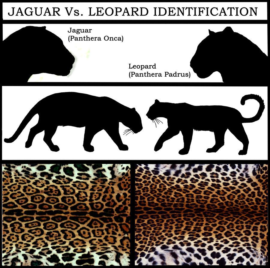 leopard and jaguar comparison - photo #22