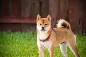 Perro Akita Inu Japón
