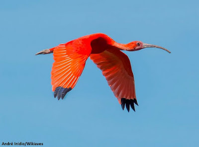 Guará, aves do Brasil, wikiaves, pássaro vermelho, biologia, observação de aves, birds, passarinho, fotografia, birdwatching, férias, turismo, viajar, fotografar