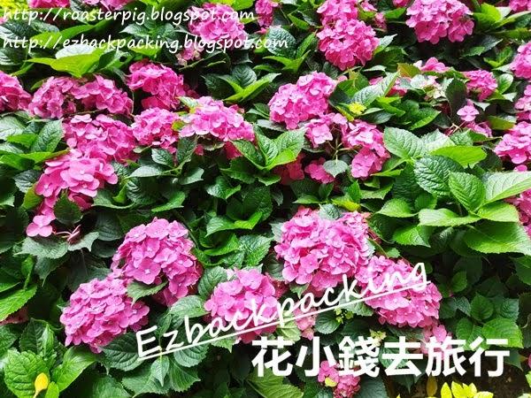 大埔海濱公園 繡球花