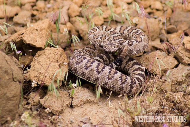 Western Rattlesnake | WesternRoseStudios © Elizabeth Zimmerman