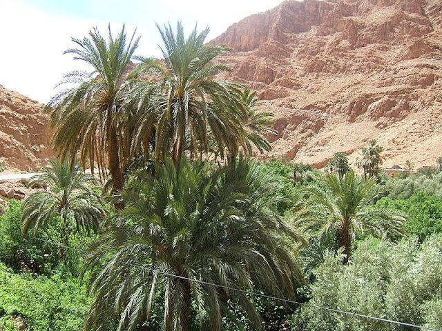 Phoenix dactylifera in Morocco