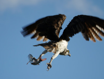 Un osprey (balbuzard pêcheur) avec un poisson-chat !