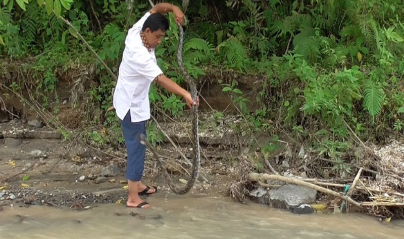 Relawan Tangkap 9 Ekor Piton dan Lepas ke Habitatnya