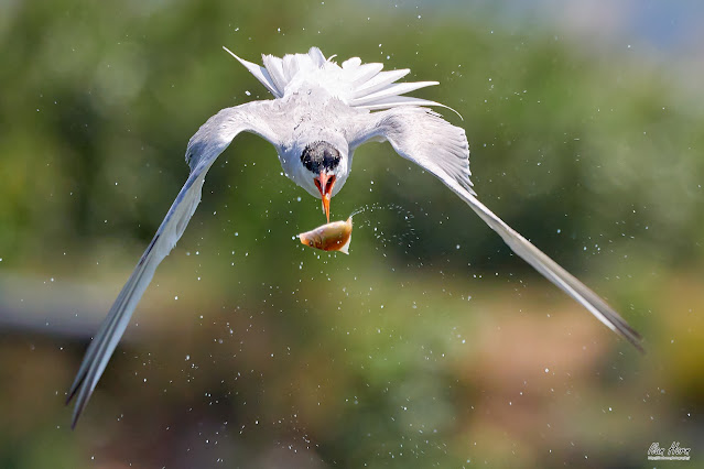 Tern Catching Fish in the Air - July 2022 Photo