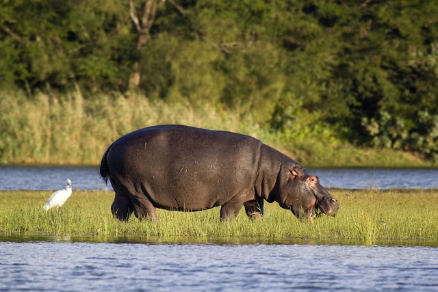 Hipopótamo en St. Lucia, iSimangaliso, Sudáfrica