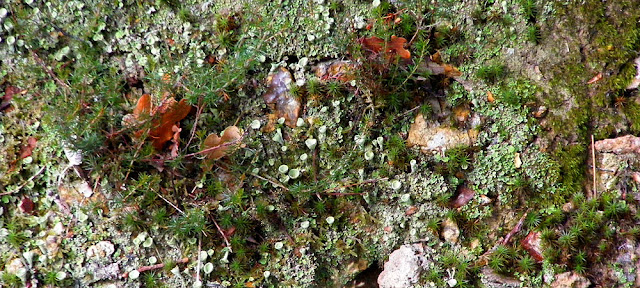 Pixie cup lichen Cladonia sp. Indre et Loire. France. Photo by Loire Valley Time Travel.