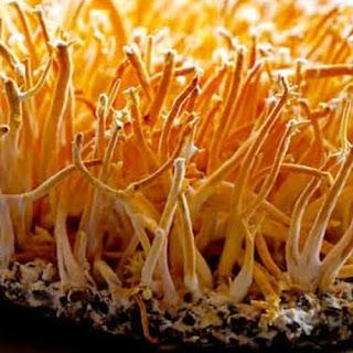 Cordyceps mushroom supplier