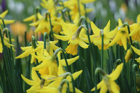 Wordsworth Daffodils with Dorothy and William
